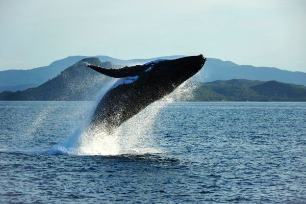 Hunpback Whales on a Australia Yacht Charter