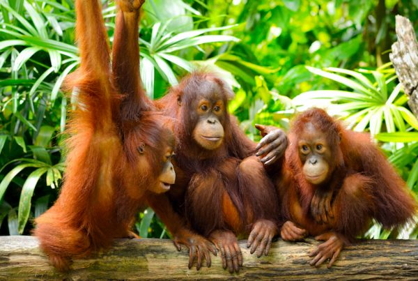 the orangutans of indonesia