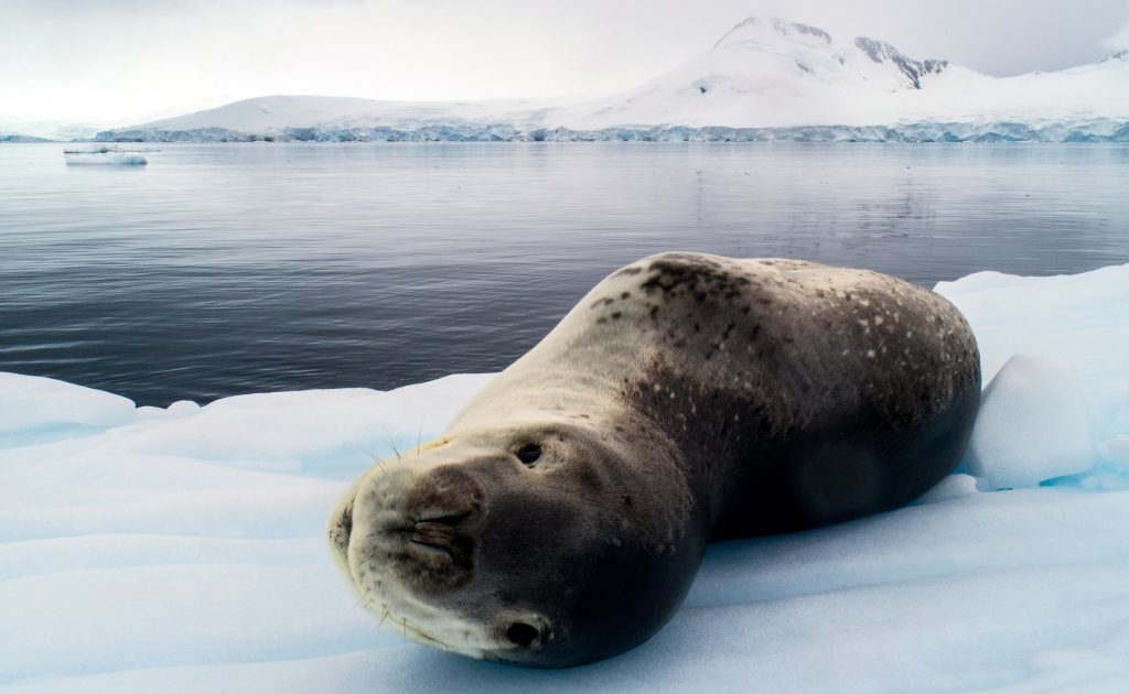 Leopard Seal on Yacht Expedition in Antarctica