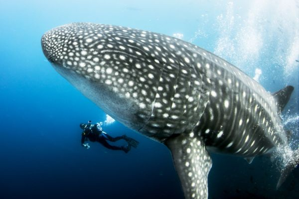 Diving with Whale Sharks on a Galapagos Luxury Charter