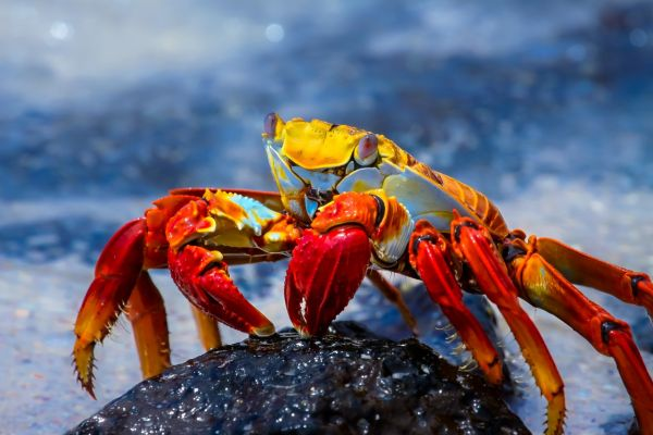 Sally Lightfoot Crab on a Galapagos Private Charter