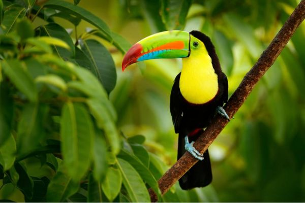 Keelbilled Toucan on a Costa Rica Yacht Charter