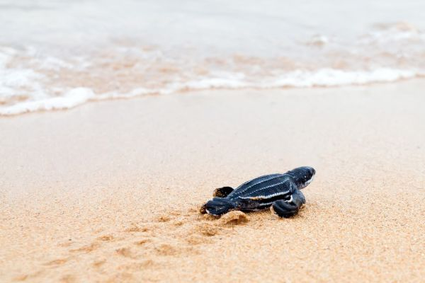 Turtle Hatchling on a Costa Rica Yacht Charter